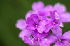 紫色花细节 免版税库存图片