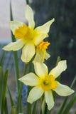 黄色花细节 库存图片