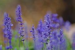 紫色花 免版税库存照片