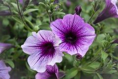 紫色花001 免版税库存照片