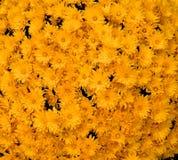 仅黄色花 库存图片