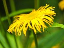 黄色花 库存图片