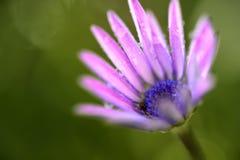紫色花2 免版税库存图片