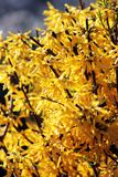 黄色花 免版税库存照片