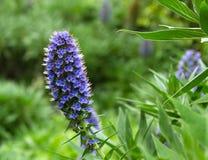 紫色花Echium fastuosum 库存照片
