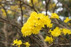 黄色花Tabebuia chrysantha尼柯尔斯,脂浊Pui,金黄树 免版税图库摄影