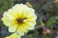 黄色花wih蜂colecting的花蜜 免版税库存照片