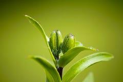 绿色芽的特写镜头 免版税库存图片