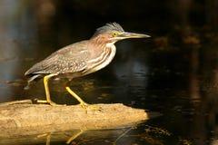 绿色苍鹭在佛罗里达沼泽地 库存照片