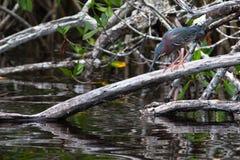 绿色苍鹭在水中的寻找鱼 Butorides Viresce 免版税库存照片