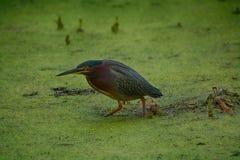 绿色苍鹭狩猎在佛罗里达 库存照片
