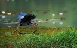 紫色苍鹭飞行 免版税图库摄影