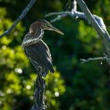 绿色苍鹭, `被栖息的` 免版税库存图片