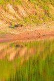 绿色苍鹭, Butorides virescens,搜寻一顿膳食在秃头瘤的秃头瘤野生生物保护区 免版税库存图片