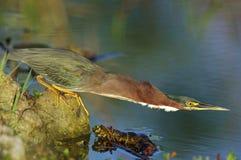绿色苍鹭- Butorides virescens 免版税库存照片