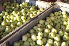 绿色苹果收获 库存图片