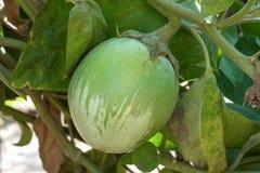 绿色茄子大生长在灌木 库存照片