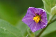 紫色茄子花 免版税库存照片