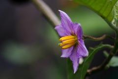 紫色茄子花 库存图片