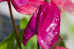 紫色茎化锥 免版税库存图片