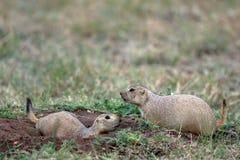 黑色草原犬鼠狗ludovicianus大草原盯梢了 库存图片