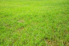 绿色草地早熟禾领域 免版税库存图片