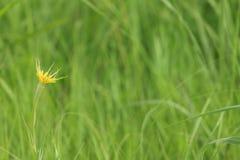 黄色草地波罗门参花 库存照片