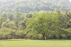 绿色草坪和结构树 库存图片