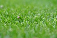 绿色草坪用背景的蘑菇 免版税库存图片