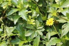 黄色草开花图象 库存图片