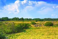 绿色草甸和母牛牧群  免版税库存照片
