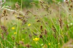 黄色草甸花和耳朵在gree被弄脏的背景  免版税库存图片