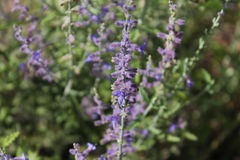 紫色草甸花 库存照片