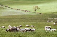 绿色草甸绵羊 免版税库存图片