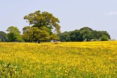 黄色草甸 图库摄影