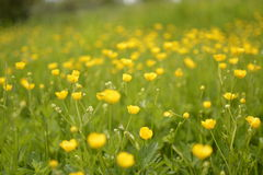 黄色草甸 免版税库存照片