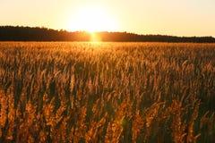 黄色草的日落和领域 免版税库存照片