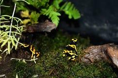 黄色草莓毒物箭青蛙 库存图片