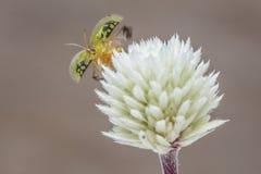 绿色草龟甲虫离开 库存照片
