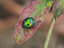 绿色草龟甲虫 免版税库存照片