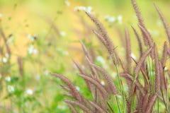 紫色草 免版税图库摄影