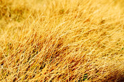 黄色草 库存图片