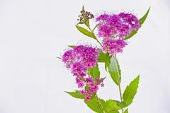 紫色荚莲属的植物tinus开花 免版税库存照片