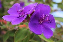 紫色荣耀灌木开花在奥克兰,新西兰 库存照片