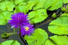 紫色荷花和叶子在池塘 库存图片