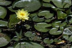 黄色荷花在有叶子特写镜头的一个池塘 免版税库存照片