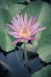 紫色荷花在湖 库存照片