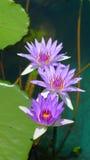 紫色荷花绽放在池塘 库存图片