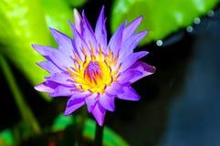紫色荷花 免版税库存照片