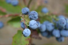 紫色莓果 免版税库存照片